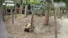 A panda falls out of a tree - GIF on Imgur