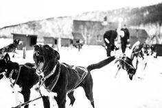 Dag Torulf Olsen is now training for the Iditarod-run, Alaska How To Start Running, Happy Dogs, Olsen, Alaska, Norway, Waiting, Pictures, Animals, Photos