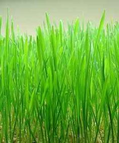 Wheatgrass - How to grow and use your own