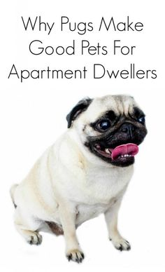 Why pugs make good dogs for apartment dwellers.