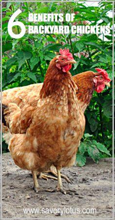 6 Benefits of Backyard Chickens : savorylotus.com