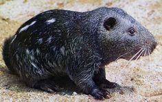 pacarana | Species Sheet | Mammals'Planet Rodents, Rats, Mammals, Wildlife, Friends, Animales, Amigos, Boyfriends