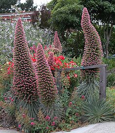 "Aren't these cool. 2009 garden addition, Echium wildpretii  ""Tower of Jewels"".  This is crazy!"