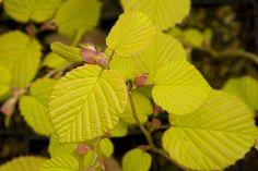 Corylopsis spicata aurea by sweber4507, via Flickr