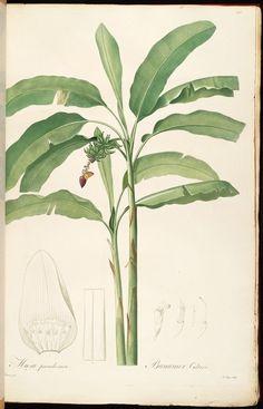 Banana (Musa paradisiaca) from Redouté, P.J., Les Liliacées, vol ...