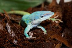 Native to Cuba, Honduras and Belize, the Allison's anole resembles the familiar green anole, but males of this species exhibit a beautiful blue color on their heads.