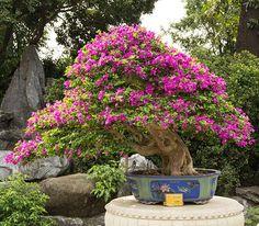 Bougainvillea bonsai tree Taiwan