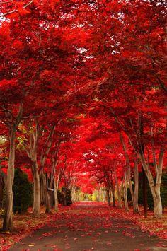 Superb Nature, lifeisverybeautiful: Hokkaido, Japan by. Fall Pictures, Nature Pictures, Beautiful Pictures, Beautiful Places To Visit, Beautiful World, Autumn Scenes, Red Tree, Autumn Photography, Fantasy Landscape