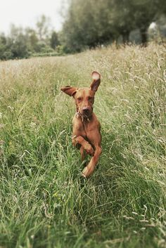 """Flappy-eared guy: """"Wow, I'm such a good runner! Look at me! Look at me go! I'm like a gazelle! Look how fast I'm running!  & it's not easy to run in such tall, unmown grass! But, it's so easy for me! I'm a star! Has anyone noticed me yet? Is anyone filming? Wow, I'm so lucky to be me!"""""""