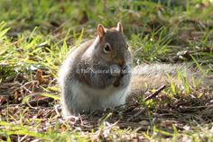 A squirrel in Nottingham's Woodthorpe Park taking a nibble on a nut.
