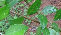 Health benefits, side effects and active substance of Henna (Lawsonia inermis) and its therapeutic uses as a medicinal herb and as dye plant