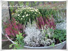 Hallo Ihr Lieben, endlich habe ich es geschafft die Sommerbepflanzung zu entfernen und die Zinkwanne herbstlich zu gestalten! Ich glaube, d...
