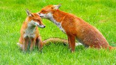 foxes - Dogs Wallpaper ID 1251119 - Desktop Nexus Animals