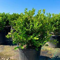 True Dwarf English Boxwood Buxus Live Plant Trade | Etsy Dwarf English Boxwood, Buxus Sempervirens, Long Driveways, Live Plants, Shrubs, Minimalism, Clouds, Garden, Etsy