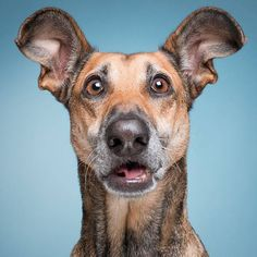 Utterly befuddled - For licensing, print and booking requests… Funny Dog Faces, Funny Dogs, Animals And Pets, Funny Animals, Cute Animals, Laughing Animals, Dog Expressions, Dog Breeds List, Silly Dogs