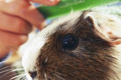 Details on how to how a guinea pig when clipping nails, identifying the quick, cutting techniques and how to handle and staunch nail bleeding.