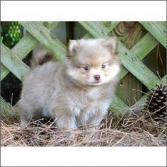 Pomeranian Puppy For Sale #dog #pet #puppy #pomeranian #forsale #sale