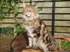 Jools • Milomaine, Maine Coon Cats in Cornwall. Paternal Grandad