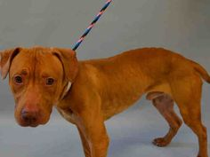 KILLED BY ACC - 07/26/15 - TO BE DESTROYED - 07/26/15 - RAMSEY aka BEAR - #A1044423 - Urgent Manhattan - MALE TAN STAFFORDSHIRE MIX, 1 Yr, STRAY NO HOLD - Intake Date 07/17/15 Due Out 07/20/15 - CAME IN WITH TINA#A1044424