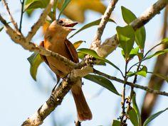 Foto caneleiro (Pachyramphus castaneus) por Conceição Garcia Bianchin | Wiki Aves - A Enciclopédia das Aves do Brasil