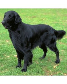 Flat-Coated Retriever. Looks so much like my Georgia girl.