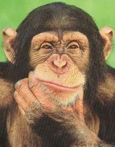 Chimpanzee Chimpanzee Chimpanzee
