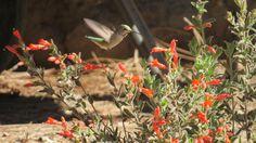 Zauschneria californica Ghostly Red