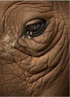 """this-is-wild: """" Rhinoceros(Marsel van Oosten) This looks more like an elephant eye to me but I'm just going by what the photographer says. Elephant Eye, African Elephant, Wildlife Photography, Animal Photography, Elephant Photography, Animals And Pets, Cute Animals, Save The Rhino, Elephants Photos"""