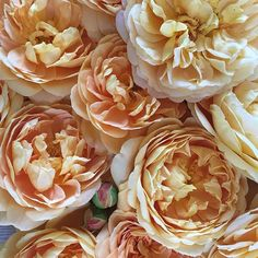 Golden Celebration™!!! The color is quite unusually deep and rich golden-yellow and exceptionally fragrant. These magnificent flowers (petals 55-75) are held on a very good repeat blooming shrub of ideal rounded habit of growth. #heirloomroses #rose #roses#goldencelebration #englishroses #davidaustin