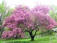 flowering japanese crabapple tree - yahoo Image Search Results