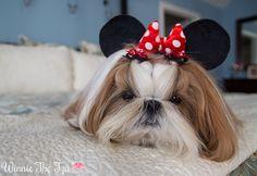 Disney shih tzu! Oh my goodness!