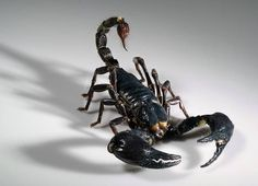 """To see a scorpion in your dream represents a situation in your waking life which may be painful or hurtful. Itis also indicative of destructive feelings, """"stinging"""" remarks, bitter words and/or negative thoughts being expressed by or aimed against you. You may be on a self-destructive and self-defeating path. The scorpion is also a symbol of death and rebirth. You need to get rid of the old and make room for something new."""