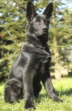 Wicked Training Your German Shepherd Dog Ideas. Mind Blowing Training Your German Shepherd Dog Ideas. German Shepherd Videos, German Sheperd Dogs, Shepherd Dogs, Black Shepherd, Black German Shepherd Dog, German Shepherds, Big Dogs, I Love Dogs, Dogs And Puppies