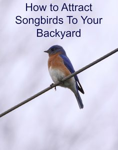 How to Attract Songbirds To Your Backyard