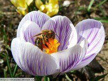 Herbář Wendys - Crocus vernus - šafrán jarní Flowers, Plants, Royal Icing Flowers, Flower, Florals, Plant, Bloemen, Planting, Floral