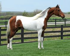 TT Painted Silk - National Show Horse