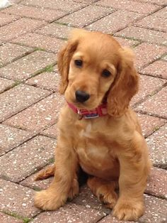 """Click visit site and Check out Best """"English Cocker Spaniel"""" T-shirts. This website is top-notch. Tip: You can search """"your name"""" or """"your favorite shirts"""" at search bar on the top. Perro Cocker Spaniel, English Cocker Spaniel Puppies, Golden Cocker Spaniel, English Spaniel, Animals And Pets, Baby Animals, Cute Animals, Cute Dogs And Puppies, I Love Dogs"""