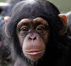 Permiti le use de chimpanzes par le investigacion medical
