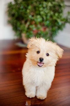 Poo-pom!! Poodle/pomeranian mix. Mine's   name is Spankie but he's more brown and black than this adorable little guy   :)