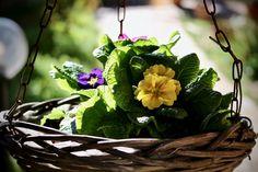Garden, Spring, Cowslip, Flower, Leaf, Nature #garden, #spring, #cowslip, #flower, #leaf, #nature