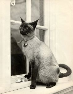 Chang, a Siamese cat....