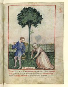 Nouvelle acquisition latine 1673, fol. 31, Récolte du persil. Tacuinum sanitatis, Milano or Pavie (Italy), 1390-1400.