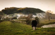 niebla detrás avanza vacas pastando verde