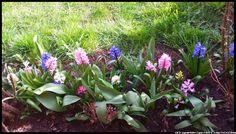 hiacynty #kwiaty #flowers #polish flowers #polskie kwiaty #kwiatki #kwiaty ogrodowe #kwiaty polne #kwiaty leśne #przebiśniegi #śnieżyczki #pierwiosnki #kwiaty wiosenne #wiosna #spring #krokusy #przebiśniegi #hiacynty #przyroda #natura #kwiaty wiosenne #spring flowers #polish flowers #Polskie kwiaty