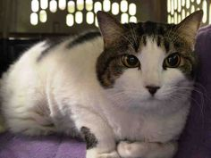 +++ SUPER #URGENT +++ #wlf #SHARE ~ TO BE DESTROYED 4/17/2015 #NYC #Manhattan Center ~ PLS #ADOPT #FOSTER immediately! ~ My name is SNOWFLAKE. My Animal ID # is A0789972. I am a spayed female white and brn tabby domestic sh mix. The shelter thinks I am about 7 YEARS old. I came in the shelter as a OWNER SUR on 04/12/2015 from NY 11201, owner surrender reason stated was MOVE2PRIVA.