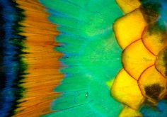 A macro of some of the vibrant colors of Parrot Fish; By Carlos Villoch