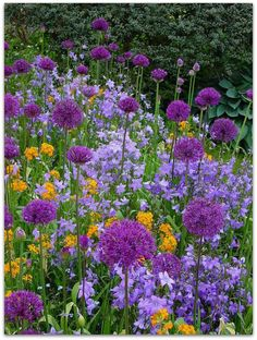 Alium - can spray paint spent blooms purple for color all season long.