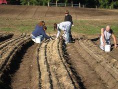 How to Grow GARLIC, from an Ohio Garlic Farm.