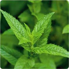 Peppermint is a powerful friend. Of all of the natural oils and herbs that claim to have medicinal and health benefits, peppermint actually has a lot of science behind it. Harvard Health Publications put together a very scholarly document detailing the many benefits of the herb.