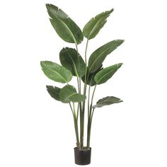 5 foot Bird of Paradise Plant: Potted   LTB605-GR   Allstate Floral